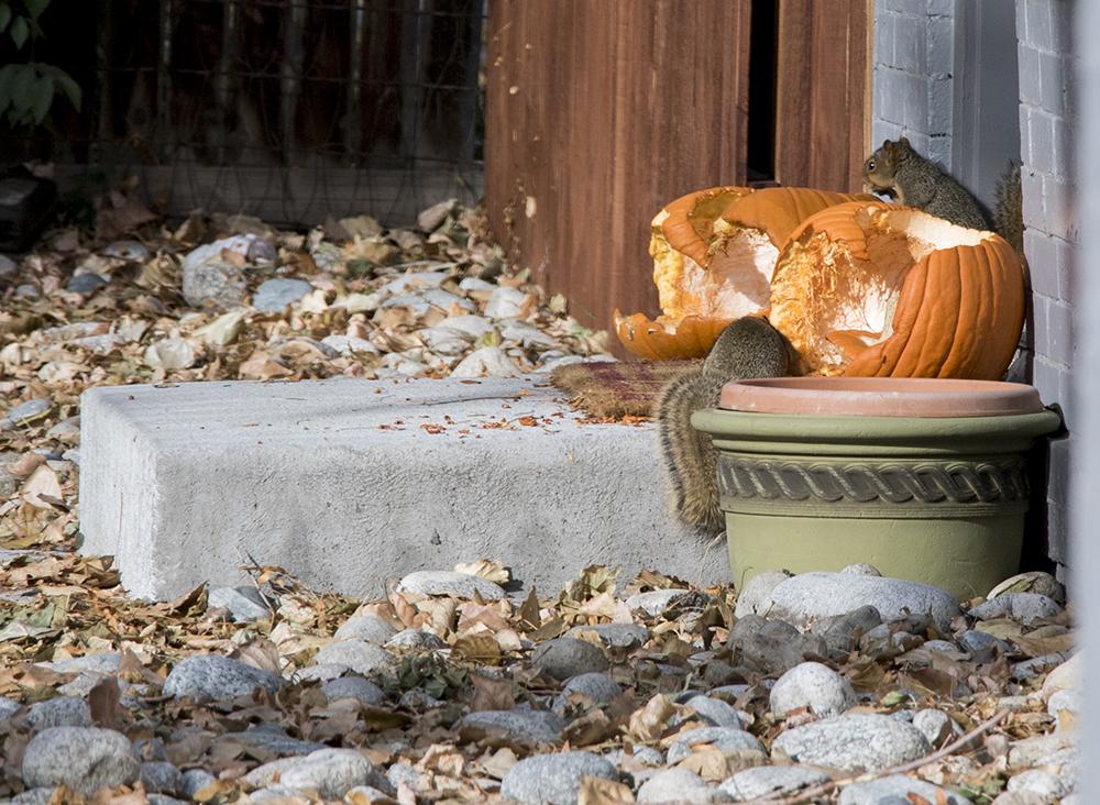 Pilfering squirrels munch pumpkins on Halloween. (Kevin J. Beaty/Denverite)   highland; squirrels; pumpkins; fall; autumn; denver; colorado; denverite; kevinjbeaty;