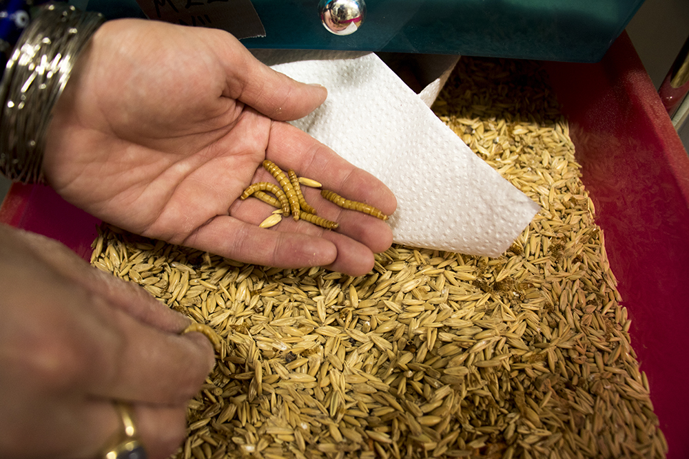 Wendy Lu McGill digs through a mealworm crop. Rocky Mountain Micro Ranch, Nov. 3, 2017. (Kevin J. Beaty/Denverite)  denver; colorado; insects; agriculture; bug farm; food; sustainability; morrison road; westwood; denverite; kevinjbeaty;