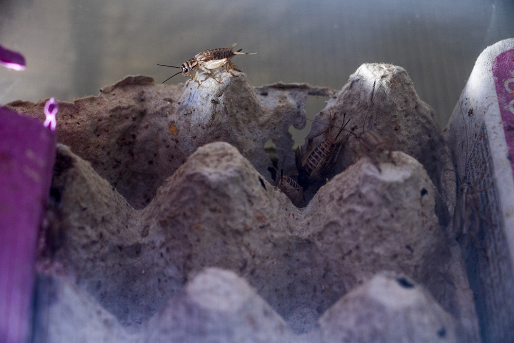 A herd of crickets at the Rocky Mountain Micro Ranch, Nov. 3, 2017. (Kevin J. Beaty/Denverite)  denver; colorado; insects; agriculture; bug farm; food; sustainability; morrison road; westwood; denverite; kevinjbeaty;