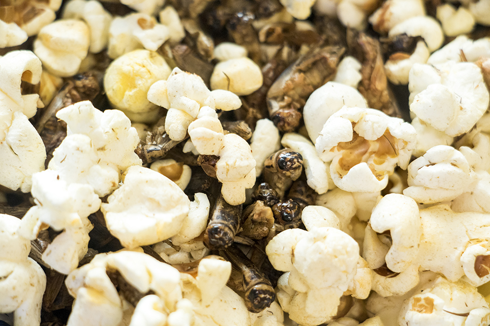 Crickets and popcorn. Rocky Mountain Micro Ranch, Nov. 3, 2017. (Kevin J. Beaty/Denverite)