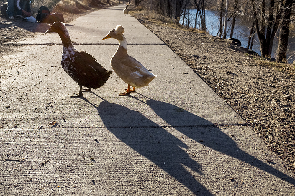 Two ducks with personality, who are well known to people who hang out along the South Platte River, Nov. 30, 2017. (Kevin J. Beaty/Denverite)  river north; south platte river; rino; five points; kevinjbeaty; denver; denverite; colorado; animals;