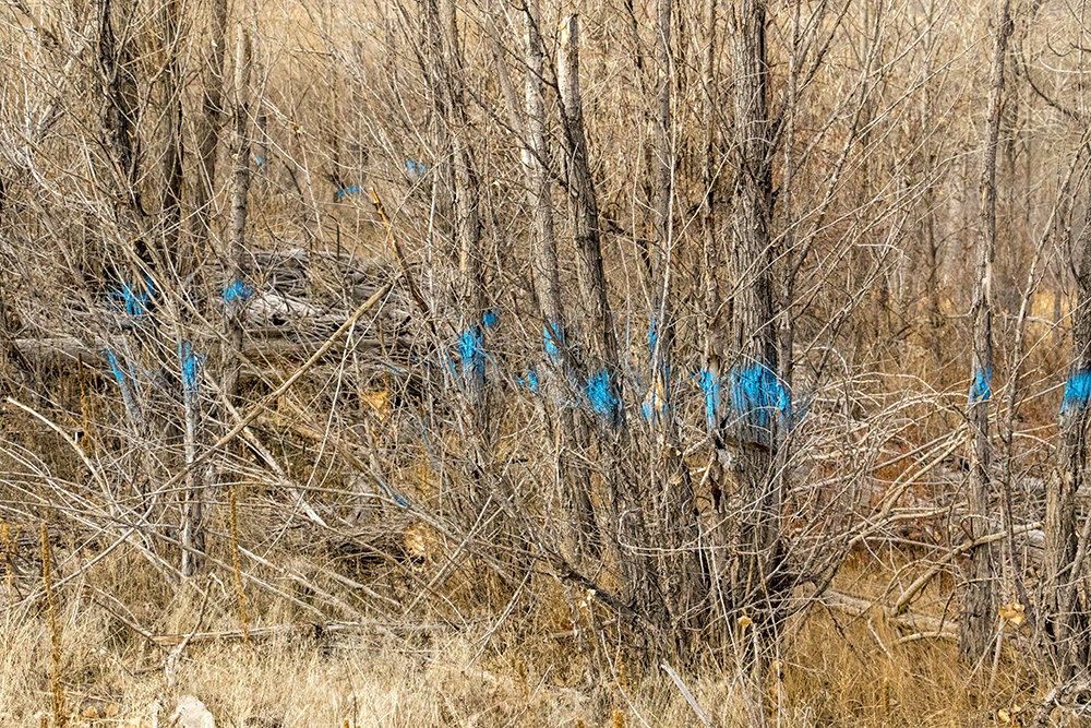 Trees painted blue for removal. The Audubon Society of Greater Denver's Christmas Bird Count at Chatfield State Park, Dec. 16, 2017. (Kevin J. Beaty/Denverite)  chatfield state park; littleton; animals; conservation; kevinjbeaty; denverite; colorado;