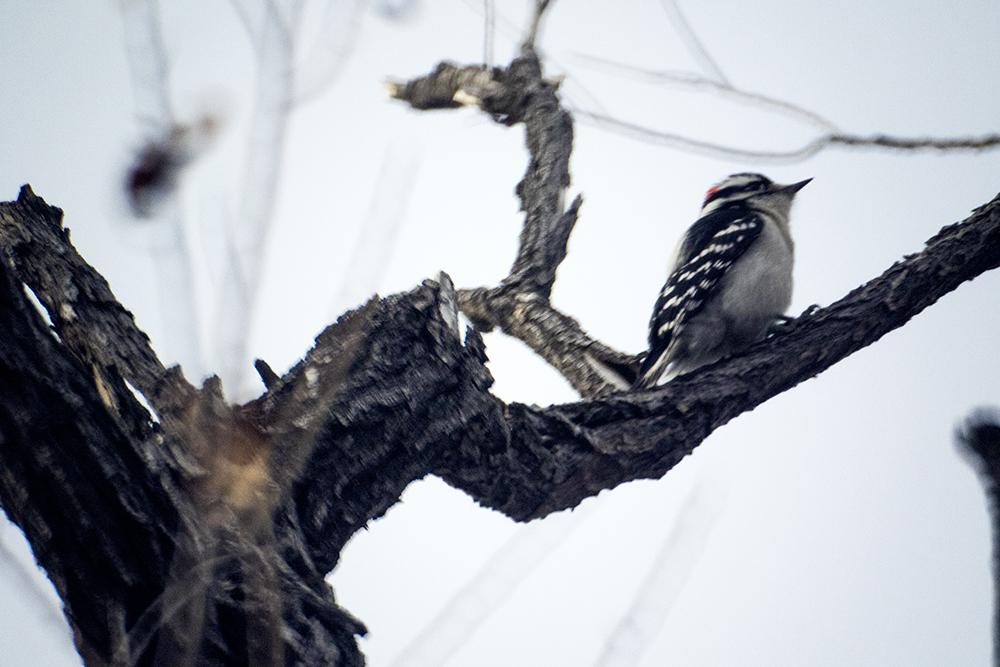 A downy woodpecker in a tree. The Audubon Society of Greater Denver's Christmas Bird Count at Chatfield State Park, Dec. 16, 2017. (Kevin J. Beaty/Denverite)  chatfield state park; littleton; animals; conservation; kevinjbeaty; denverite; colorado;