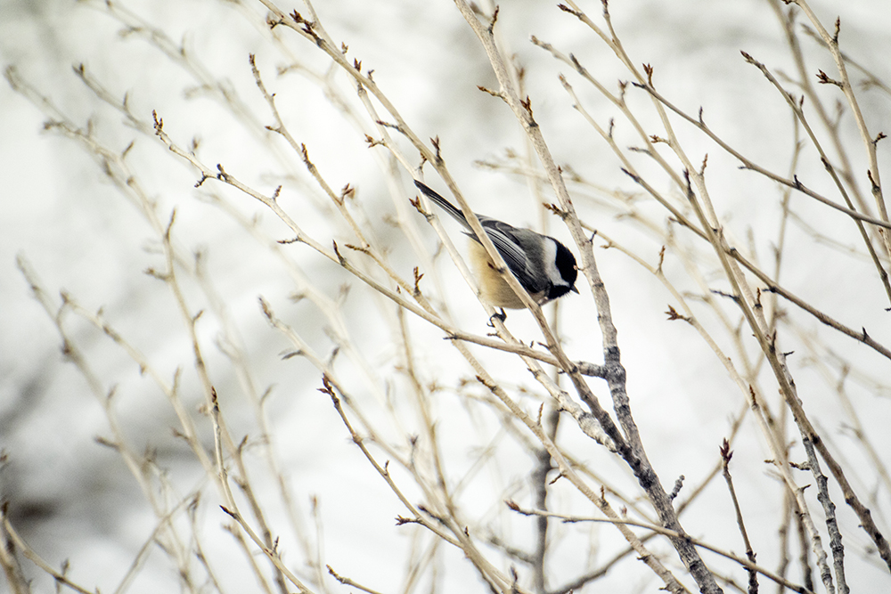 A black-capped chickadee. The Audubon Society of Greater Denver's Christmas Bird Count at Chatfield State Park, Dec. 16, 2017. (Kevin J. Beaty/Denverite)  chatfield state park; littleton; animals; conservation; kevinjbeaty; denverite; colorado;