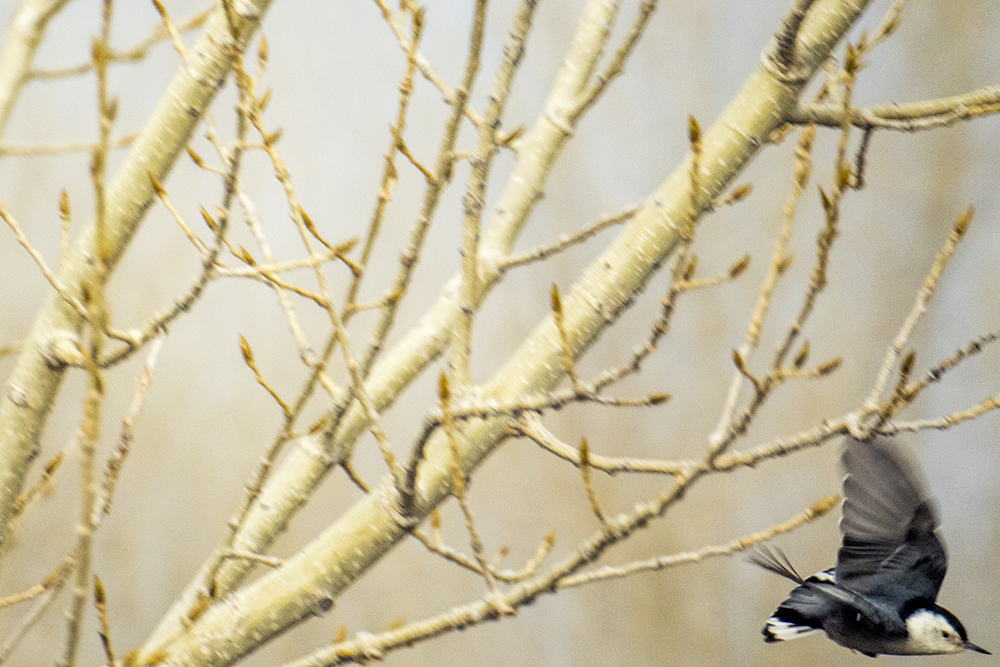 A white-breasted nuthatch dives from a tree. The Audubon Society of Greater Denver's Christmas Bird Count at Chatfield State Park, Dec. 16, 2017. (Kevin J. Beaty/Denverite)  chatfield state park; littleton; animals; conservation; kevinjbeaty; denverite; colorado;