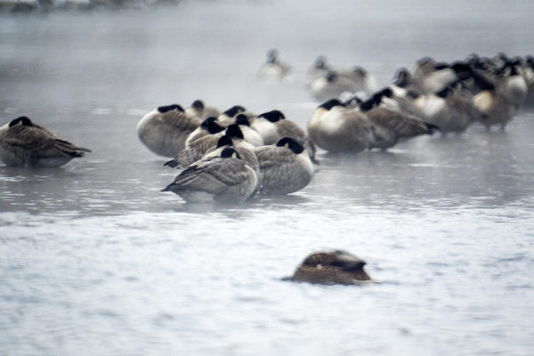 A metric motherload of Canada geese on the South Platte River in Overland. (Kevin J. Beaty/Denverite)  colorado; denver; denverite; kevinjbeaty; overland; animals; nature; weather; cowx; winter; snow; cold; south platte river;