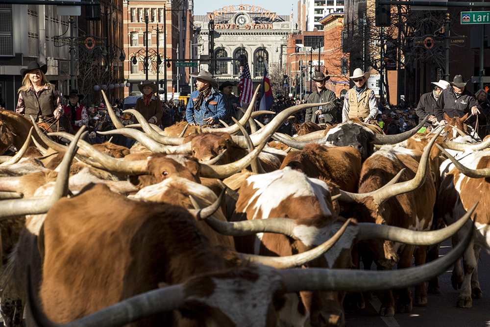 Longhorns are corralled down 17th Street. The 112th National Western Stock Show begins with a parade through downtown Denver, Jan. 4, 2018. (Kevin J. Beaty/Denverite)  national western stock show; nwss; parade; denver; denverite; colorado; kevinjbeaty;