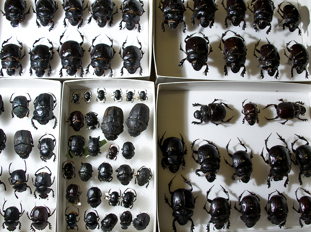 African dung beetles in the Denver Museum of Nature and Science's Zoology Collection. (Kevin J. Beaty/Denverite)  denver museum of nature and science; dmns; science; biology; archival; denver; colorado; denverite; kevinjbeaty;
