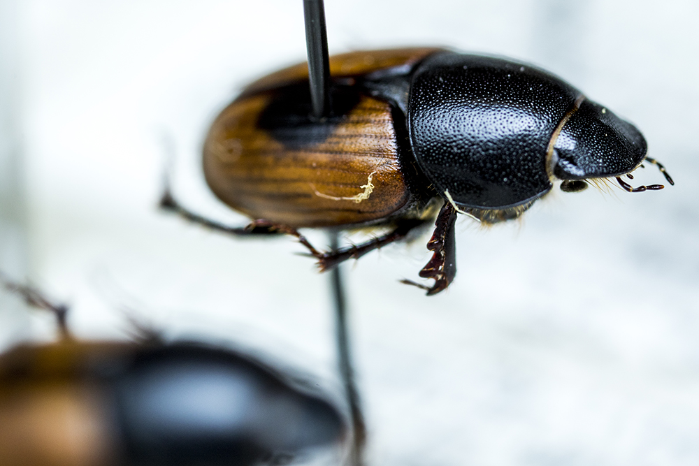 Aphodius erraticus, an invasive European dung beetle species, in the Denver Museum of Nature and Science's Zoology Collection. (Kevin J. Beaty/Denverite)  denver museum of nature and science; dmns; science; biology; archival; denver; colorado; denverite; kevinjbeaty;