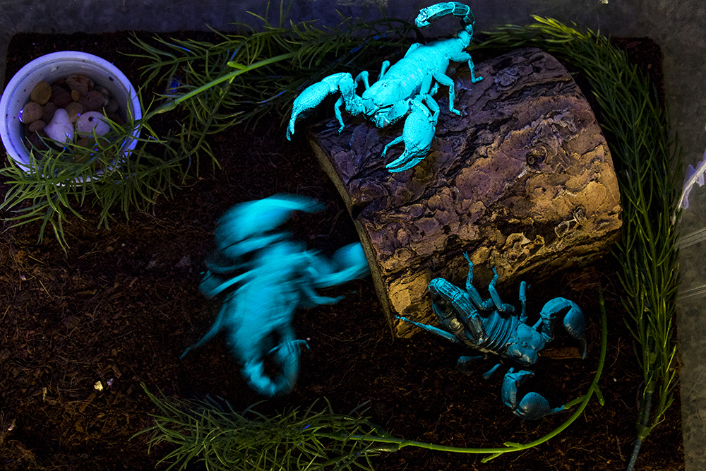Asian forest scorpions illuminated by a blacklight at the Butterfly Pavilion, Feb. 13, 2018. (Kevin J. Beaty/Denverite)  science; animals; scorpions; butterfly pavilion; westminster; denverite; colorado; kevinjbeaty;