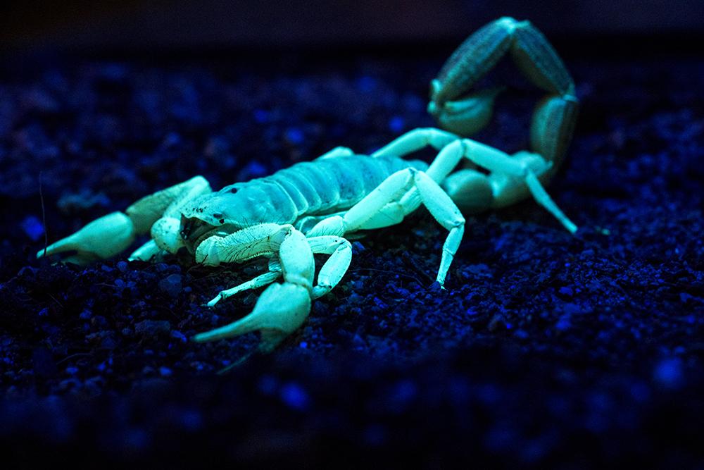 A desert hairy scorpion, illuminated by a blacklight, at the Butterfly Pavilion, Feb. 13, 2018. (Kevin J. Beaty/Denverite)  science; animals; scorpions; butterfly pavilion; westminster; denverite; colorado; kevinjbeaty;