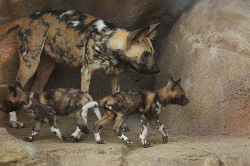 African wild dog puppies and their mother at the Denver Zoo. (Courtesy of Denver Zoo)
