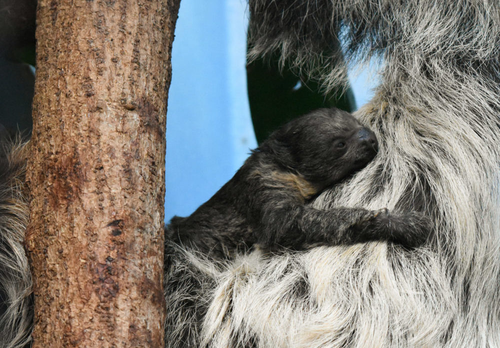 The new baby Linne's two-toed sloth at the Denver Zoo. (Courtesy of the Denver Zoo)
