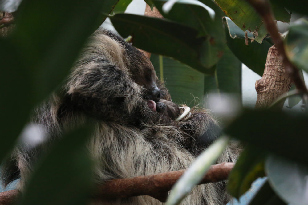 The new baby Linne's two-toed sloth with its mother, Charlotte Greenie, at the Denver Zoo. (Courtesy of the Denver Zoo)