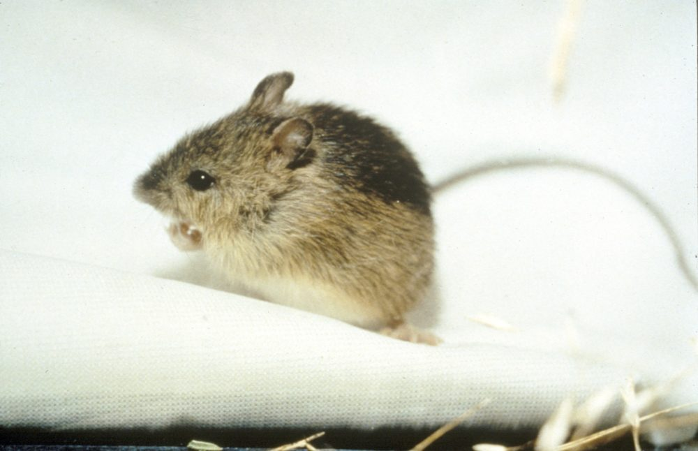 Preble's meadow jumping mouse (Zapus hudsonius preblei). Jan. 26, 2006. (U.S. Fish and Wildlife Service/Wikimedia Commons)