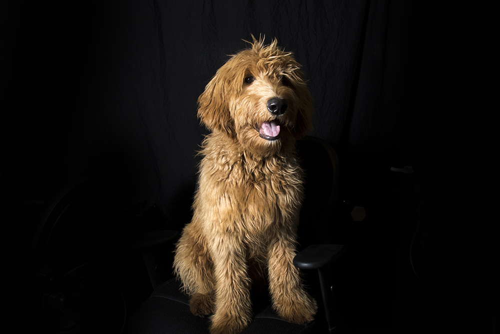 Louie. (Kevin J. Beaty/Denverite)  events; who's next; headshots; dogs; pets; animals;