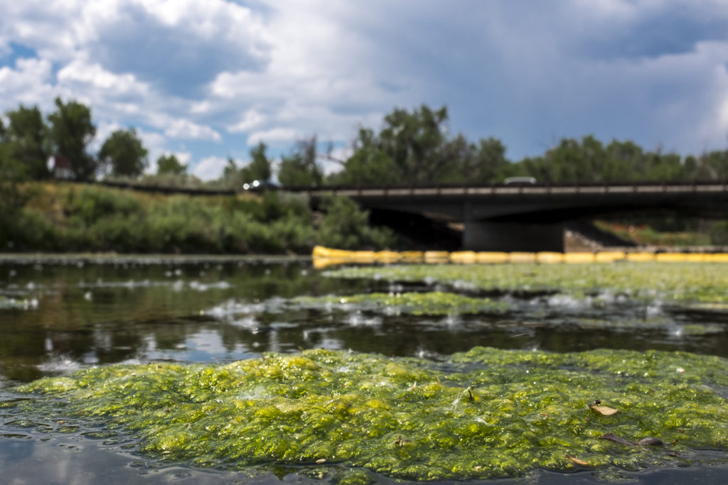 The South Platte River is very low and full of algae this year, as seen here at South Platte Park in Littleton, July 4, 2018. (Kevin J. Beaty/Denverite)