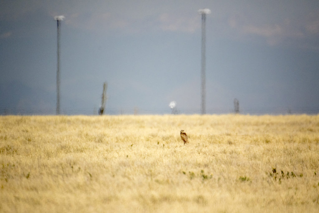 A burrowing owl seen on Denver International Airport's airfield, July 19, 2018. (Kevin J. Beaty/Denverite)
