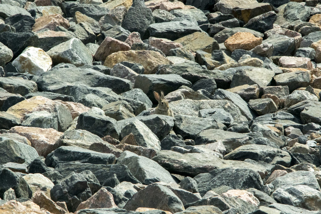 A bunny is seen basking on some rocks on Denver International Airport's airfield, July 19, 2018. (Kevin J. Beaty/Denverite)