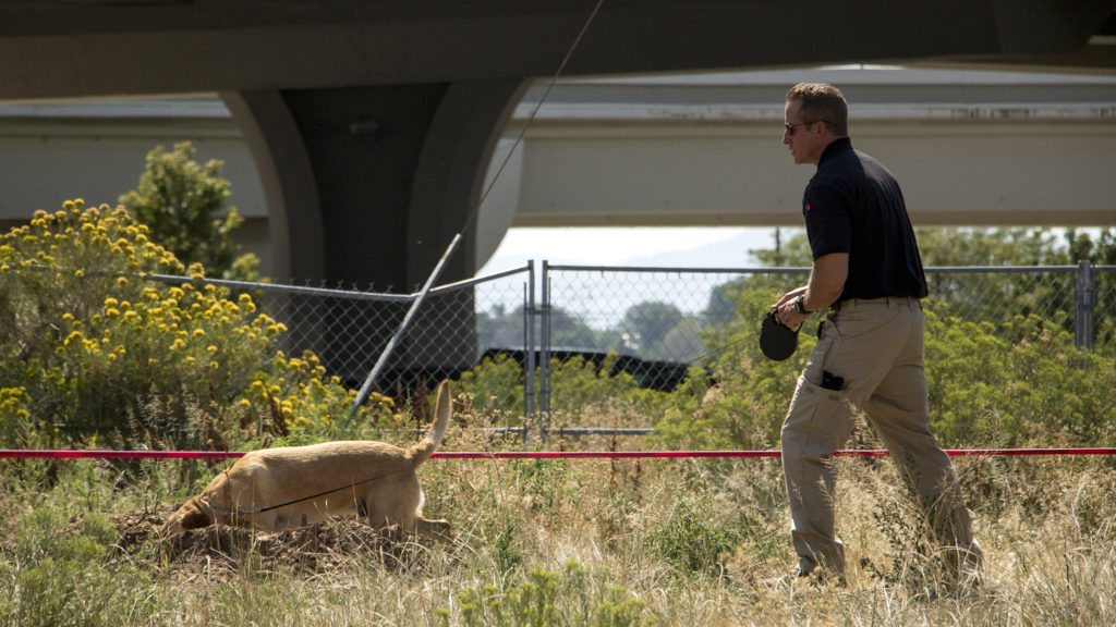 A Denver Police evidence-sniffing dog inspects bushes close to Broadway at Ohio Avenue where officers are investigating a triple homicide, Aug. 9, 2018. (Kevin J. Beaty/Denverite)