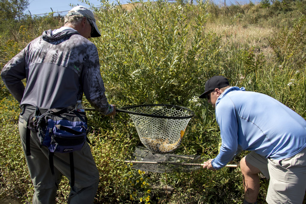 Gifford Maytham (left) lays out a carp for measuring during Denver Trout Unlimited's 12th annual Carpslam flyfishing tournament on the South Platte River, Sept. 9, 2018. (Kevin J. Beaty/Denverite)