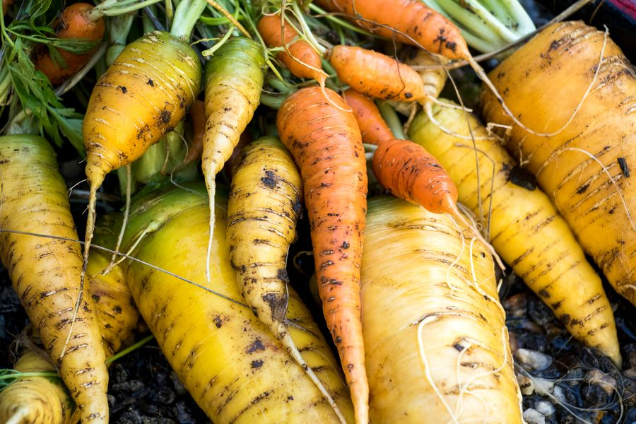 Carrots from Paul Heitzenrater and John Farnam's garden in their Montclair backyard, Oct. 12, 2018. (Kevin J. Beaty/Denverite)