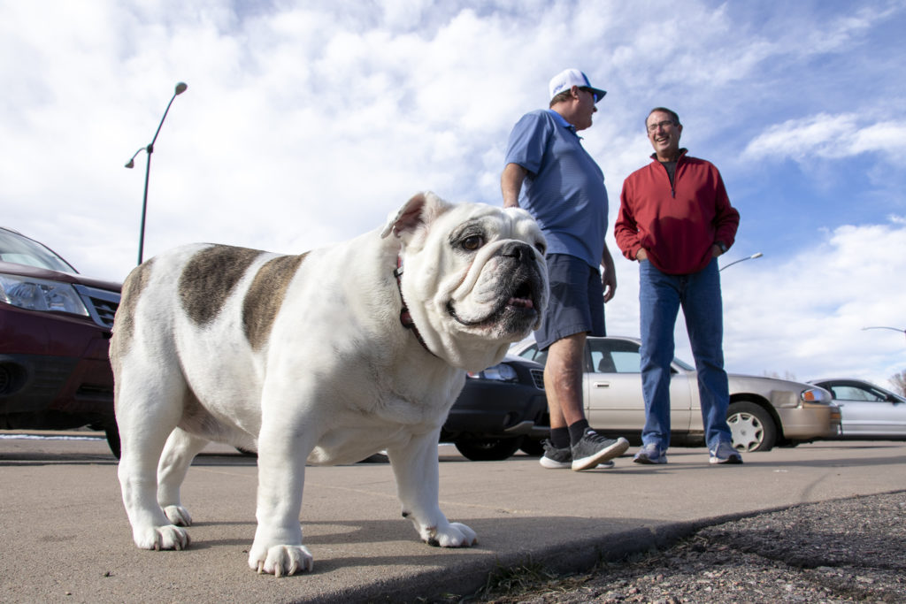 Bully the bulldog poses for a portrait at Englewood's Cushing Park, Feb. 2, 2019. (Kevin J. Beaty/Denverite)