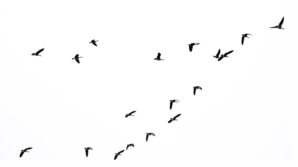Geese fly over Windsor Gardens, Feb. 27, 2019. (Kevin J. Beaty/Denverite)
