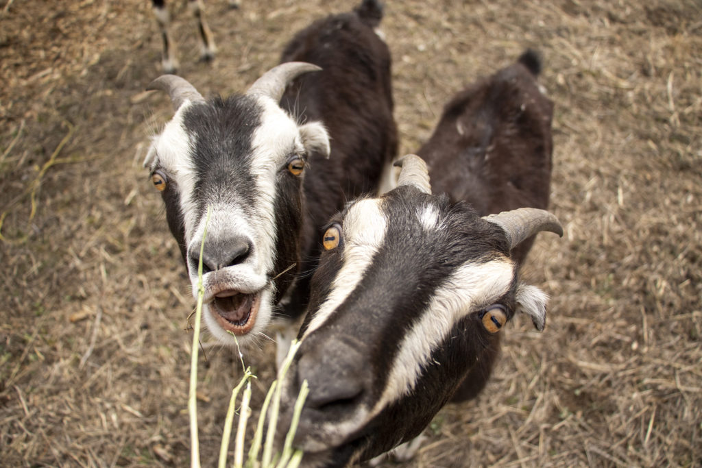 Developer Norbert Klebl's weed-eating goats on site at his Geos Neighborhood in Arvada, March 26, 2019. (Kevin J. Beaty/Denverite)