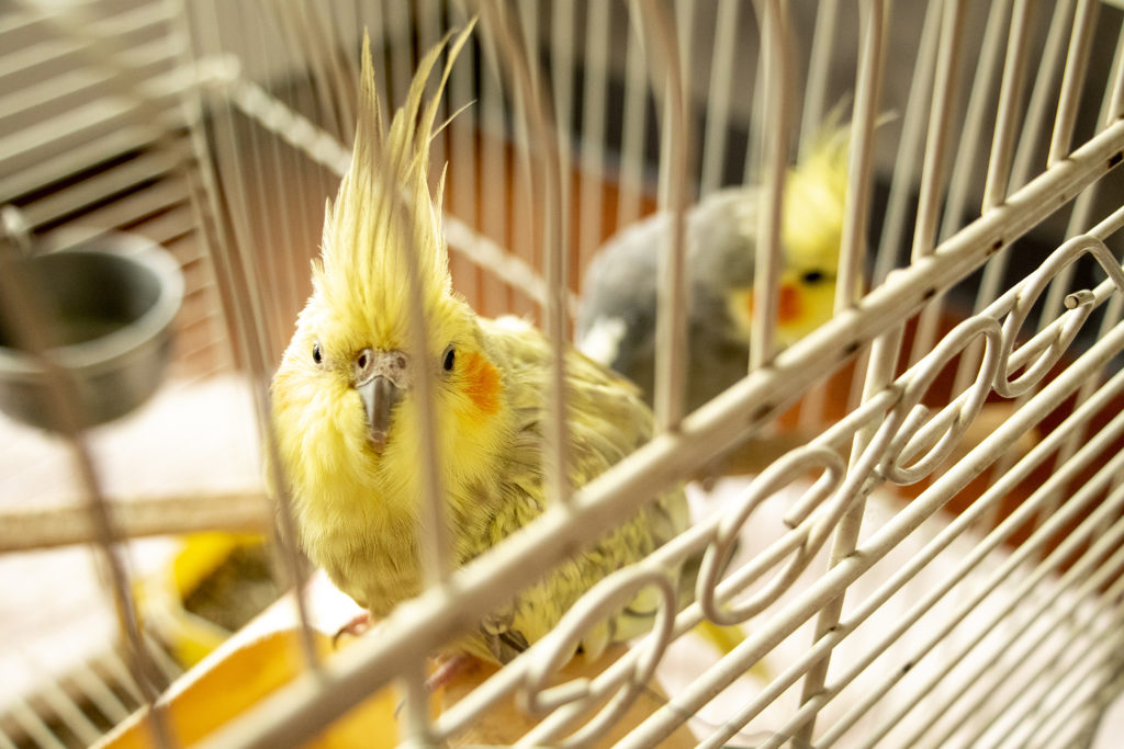 Caged birds inside Lalo Lopez's home in the Denver Meadows mobile home park in Aurora, March 31, 2019. (Kevin J. Beaty/Denverite)