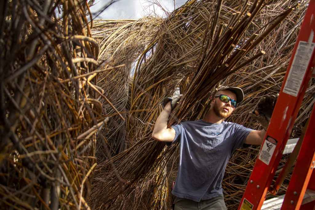 """Sam Dougherty hauls willow up a ladder for use in """"Stickwork,"""" his dad's installation project at the Denver Botanic Gardens' Chatfield Farms, April 18, 2019. (Kevin J. Beaty/Denverite)"""