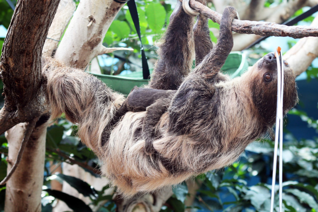 A baby sloth and its mother at the Denver Zoo. April 16, 2019. (Courtesy Denver Zoo)