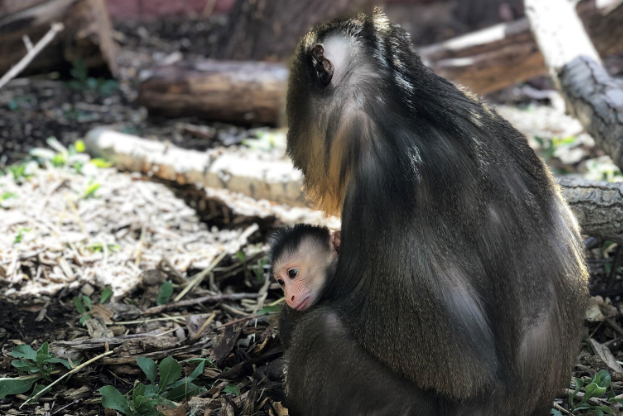 Kesi, the new baby mandrill at the Denver Zoo, held by her mother, Kumani. (Courtesy Denver Zoo)
