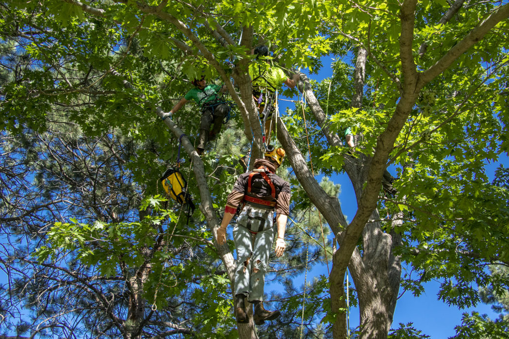 A rescue dummy hangs in a tree during the International Society of Arboriculture's rocky mountain chapter holds their annual regional tree-climbing competition at Crestmoor Park in Hilltop, July 20, 2019. (Kevin J. Beaty/Denverite)