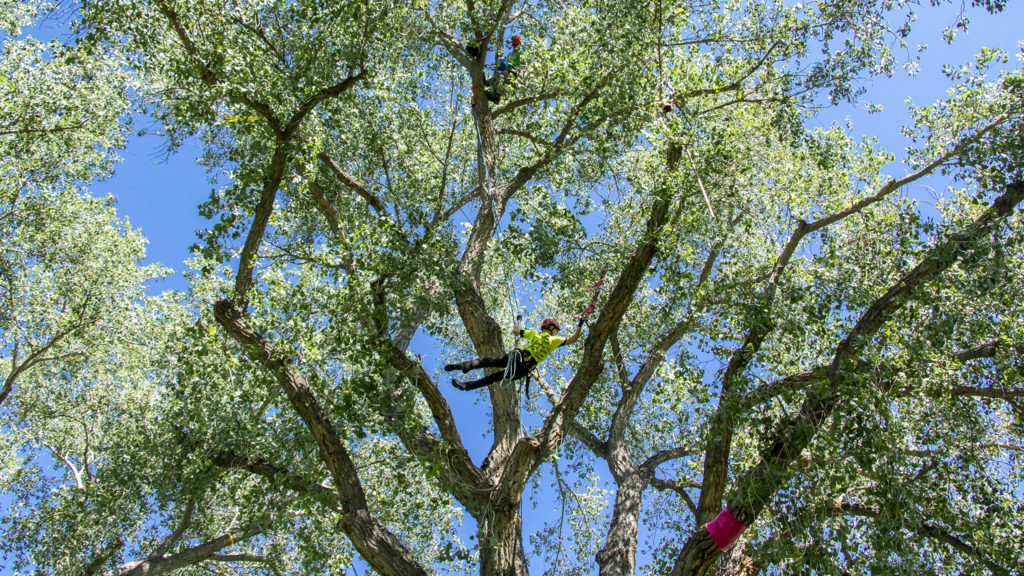 Randi Fitzsimmons, a Denver tree worker, flies around a cottonwood in Crestmoor Park during the annual regional tree-climbing competition put on by the International Society of Arboriculture's rocky mountain chapter, July 20, 2019. (Kevin J. Beaty/Denverite)