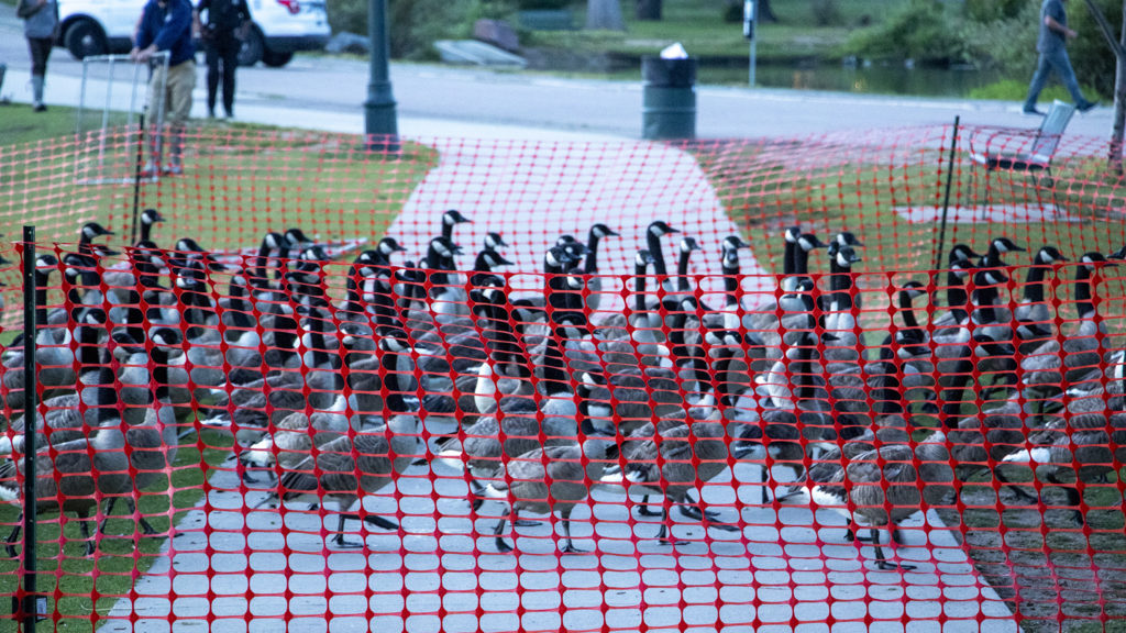 USDA biologists herd Canada geese into an enclosure to be culled from City Park, July 1, 2019. (Kevin J. Beaty/Denverite)