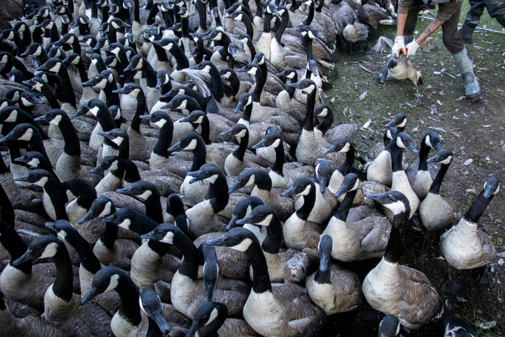 Canada geese fill a temporary enclosure as USDA biologists cull them from City Park, July 1, 2019. (Kevin J. Beaty/Denverite)