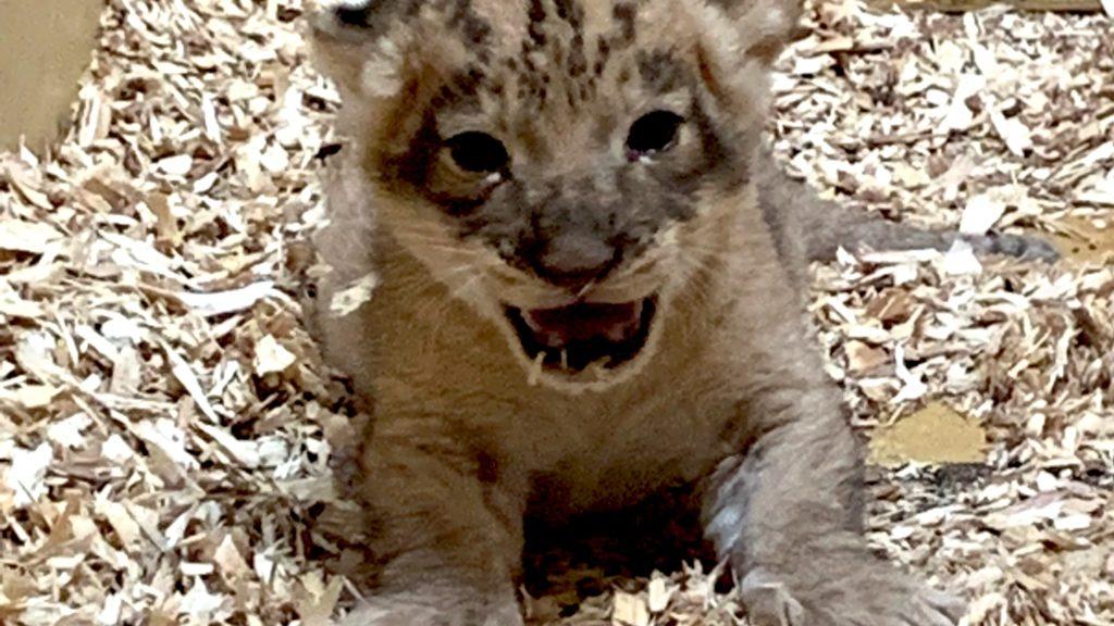 African lion cub 1