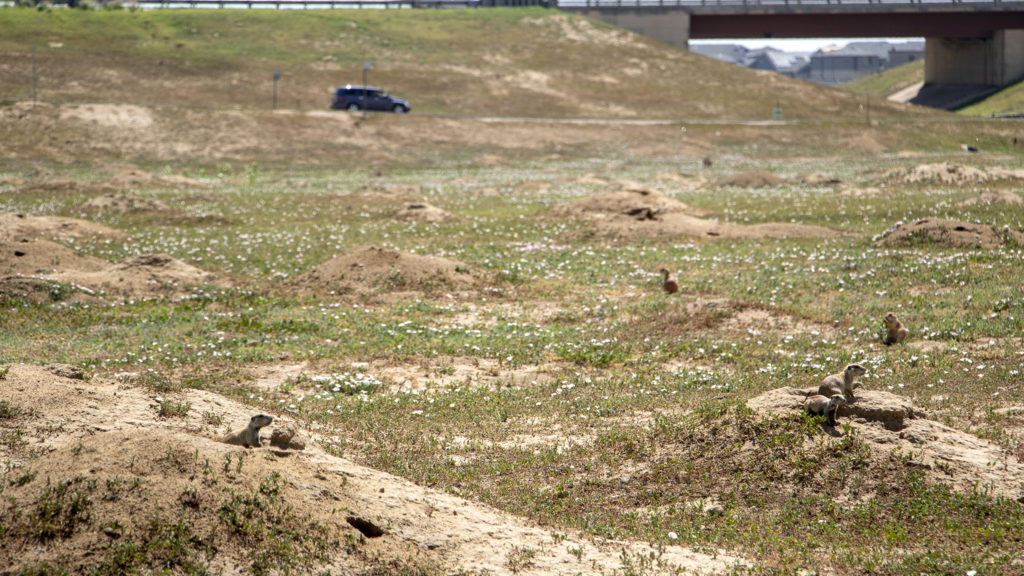 Prairie dogs do their thing at Denver's First Creek Open Space, which connects to the First Creek Natural Playground via trails, in Denver's DIA neighborhood. Aug. 1, 2019. (Kevin J. Beaty/Denverite)