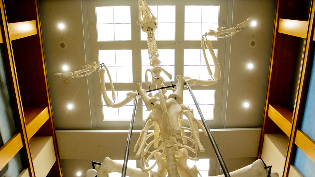 Andreas Greiner's enormous Ross 308 chicken installed inside the main hall of the Denver Public  Library's main branch downtown, Sept. 12, 2019. (Kevin J. Beaty/Denverite)