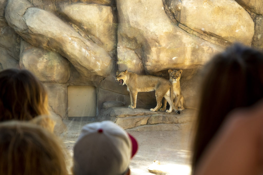 Denver Zoo's new and yet-unnamed baby lion is revealed to the public. Sept. 18, 2019. (Kevin J. Beaty/Denverite)