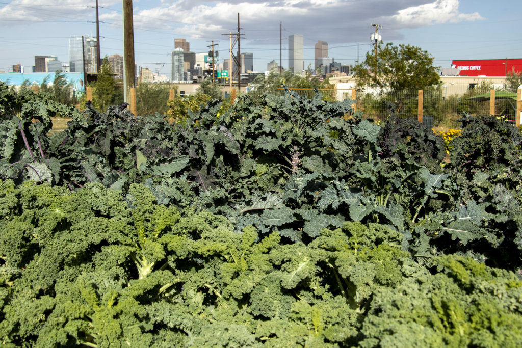 Kale grows at Sun Valley's urban garden, Sept. 27, 2019. (Kevin J. Beaty/Denverite)