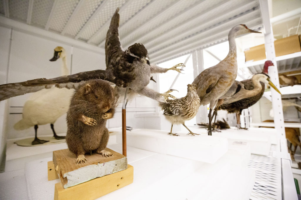 Taxidermied animals inside a Denver Museum of Nature and Science collections room, Oct. 25, 2019. (Kevin J. Beaty/Denverite)