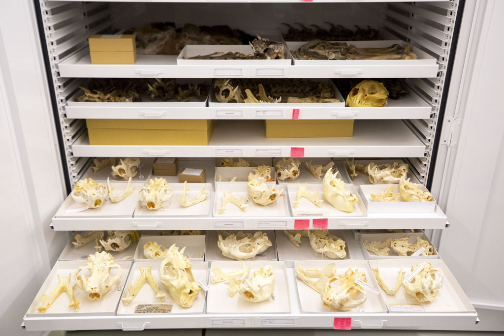 Mountain lion skulls inside a Denver Museum of Nature and Science collections cabinet, Oct. 25, 2019. (Kevin J. Beaty/Denverite)