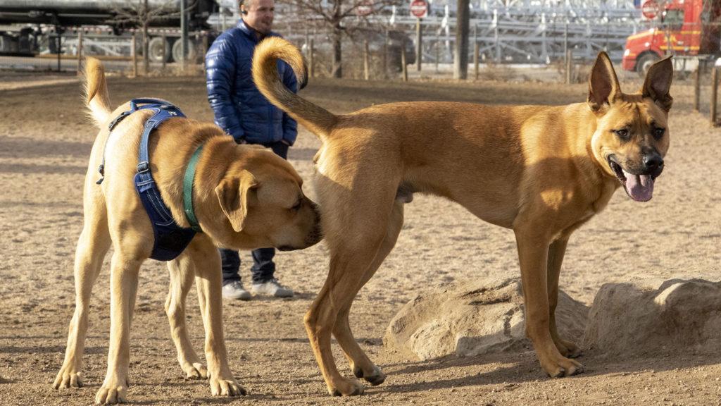 Dog introductions on a Friday morning at the Berkeley Dog Park. Dec. 13, 2019. (Kevin J. Beaty/Denverite)