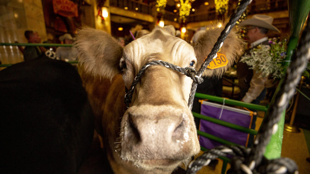 Prize steer Olaf makes his grand appearance at the Brown Palace Hotel, Jan. 24, 2020. (Kevin J. Beaty/Denverite)
