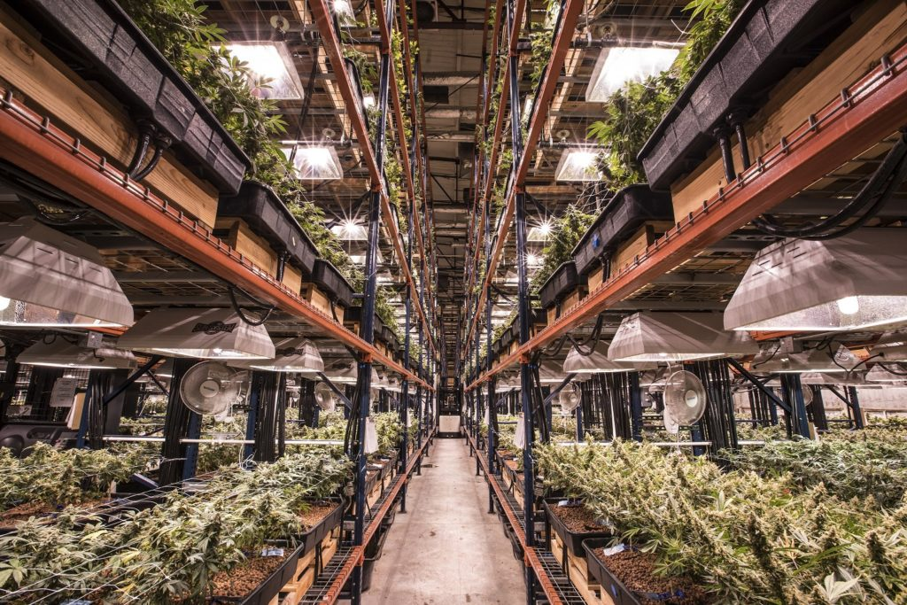 Inside the Green Solution's grow facility in north Denver. (Photo Courtesy of Green Solution).