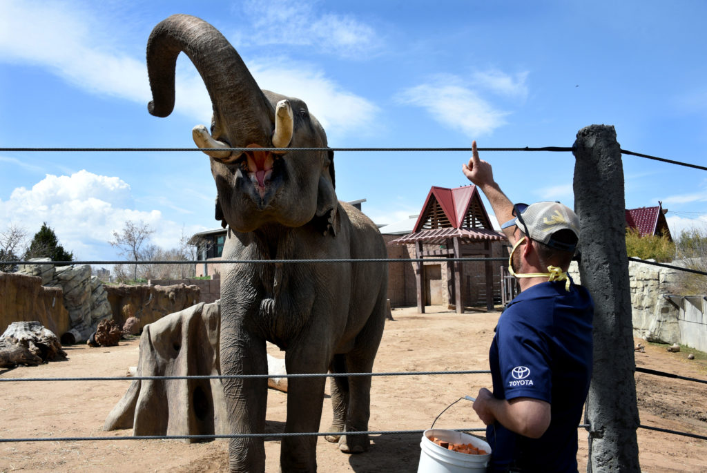 Elephant keeper Jeff Stanton cues Groucho, the largest animal in Colorado at six tons, to open his mouth for inspection. Usually this training session would have been a demonstration for 500 visitors in the nearby amphitheater to show how keepers gauge the health and condition of the Asian elephants. April 19, 2020. (Sonya Doctorian for Denverite)