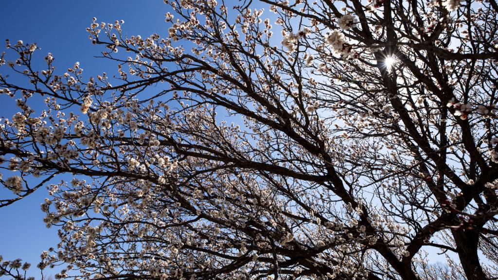 An apricot tree in bloom at the Denver Botanic Gardens, April 7, 2020. (Kevin J. Beaty/Denverite)