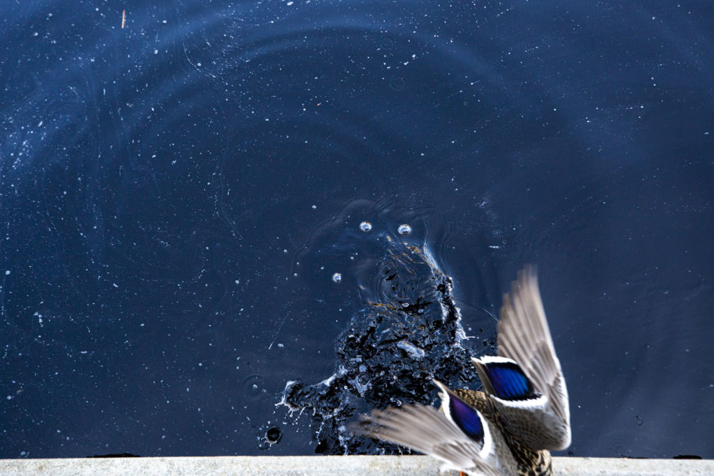 A duck climbs out of a pool at the Denver Botanic Gardens, April 7, 2020. (Kevin J. Beaty/Denverite)